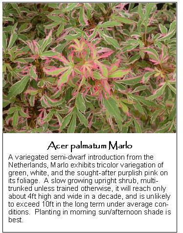Acers Maples
